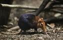 Kỳ quái loài chuột lạ: Cực chung thủy, có họ hàng với... voi