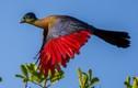 Sự kỳ thú của các loài chim tiêu quyên chỉ có ở châu Phi