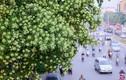 Video: Dân đề xuất chặt bớt cây hoa sữa, công ty cây xanh Hà Nội nói gì?
