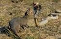 Video: Chồn và rắn hổ mang đọ độ nhanh như thế nào?
