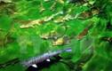 Cá hồi Sa Pa đột nhiên chết hàng loạt chưa rõ nguyên nhân