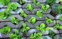 Xem người Hà Nội trồng rau hốc đá như dân H'Mông