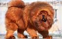 Video: Những giống chó đắt nhất thế giới