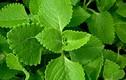 Video: Ai trồng cây này chẳng khác nào có thuốc quý trong nhà