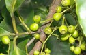 Video: Loại lá quý hơn vàng chữa hẳn 19 bệnh