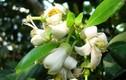 Video: Công dụng chữa bệnh thần kỳ ít ai ngờ của hoa bưởi