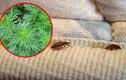 Video: Đặt nắm lá này bên dưới ga đệm, rệp sẽ cao chạy xa bay