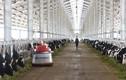 Khánh thành Trang trại bò sữa công nghệ cao Vinamilk tại Thanh Hóa