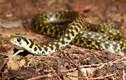 Điểm mặt những loài rắn quái dị nhất thế giới