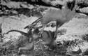 Đứng tim xem đại bàng ẩn sỹ vương miện săn... khỉ
