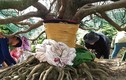 Đại gia Cần Thơ bỏ 3,8 tỷ đồng thửa cây mai đại thụ về ngắm