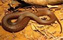 """Video: Thấy rắn độc """"vẫy gọi"""", thằn lằn tự đến dâng mạng cho tử thần"""