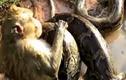 Video: đàn khỉ hợp sức cứu con khỏi con trăn khổng lồ