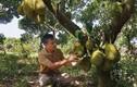 Lão nông bất ngờ thắng lớn tiền tỷ mỗi năm nhờ cây mít lạ