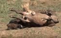 Video: Nghìn con trâu rừng giải nguy đồng loại