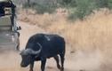 """Video: Trâu rừng húc thủng ô tô để """"dọa"""" sư tử"""