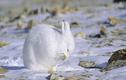 """Lý do khiến động vật ở Bắc Cực luôn có """"bộ áo trắng muốt"""""""