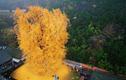 Ngắm cây cổ thụ 1.400 năm tuổi vàng rực đẹp đến ngỡ ngàng