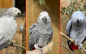 """""""Dung nhan"""" đẹp đẽ của 5 con vẹt bị cách ly vì dạy nhau... khẩu nghiệp"""
