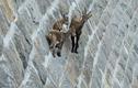 Kỳ lạ loài động vật có thể leo lên những vách đá dựng đứng