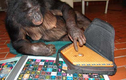 Heo bất ngờ xuất hiện trong top động vật... thông minh nhất hành tinh