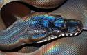 Loài rắn kỳ lạ có vảy lấp lánh như cầu vồng ở Việt Nam