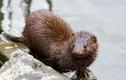 Cận cảnh loài động vật hoang dã đầu tiên nhiễm COVID-19