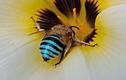 Xuất hiện loài ong có màu xanh da trời cực hiếm tại Úc