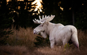 Bắt gặp nai sừng tấm trắng quý hiếm như trong thần thoại