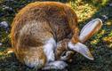 Thỏ không phải loài vật hiền lành, chúng còn ăn cả xác động vật