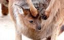 Chuột Kangaroo có thể ngừng sinh con cho đến khi chúng muốn