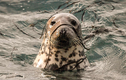 """Khoa học """"bó tay"""" với tiếng ồn siêu âm của hải cẩu dưới nước"""