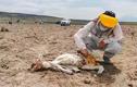 """Chile """"đau đầu"""" tìm nguyên nhân lạc đà chết hàng loạt do bị hút máu"""