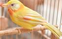 Chim ngũ sắc độc nhất Việt Nam: Tá hoả vì chăm sóc