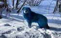 Sự thật kinh hoàng khiến bầy chó bị chuyển màu lông sang xanh dương