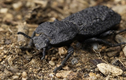 Loài bọ có sức chịu đựng kinh khủng, xe nặng 1,5 tấn đè không chết