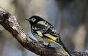 Loài chim đối mặt nguy cơ tuyệt chủng vì... quên cách hót giao phối