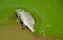 """Loài tảo lam """"chết chóc"""", thải độc vào không khí khi nở hoa"""