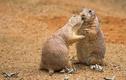 """Loài cầy có thói quen """"ôm hôn thắm thiết"""" giống hệt con người"""