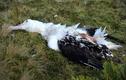 Kinh hoàng chuột nhắt ngoại cỡ ăn sống hải âu một cách ngấu nghiến