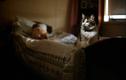 """Bí ẩn chú mèo """"thần chết"""", nằm cạnh ai người đó sẽ qua đời"""