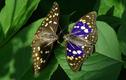 Loài bướm có khả năng đánh giá môi trường, là Quốc điệp Nhật Bản