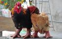 Bí mật về gà Đông Tảo khiến chúng có giá cả chục triệu đồng