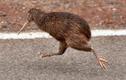 Kiwi – loài chim siêu năng lực khiến con người phải thán phục