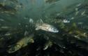 """Hồ thiêng """"nhả"""" ra 800.000 tấn tôm cá nhưng không ai dám bắt"""