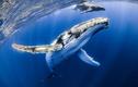 Hú hồn cá voi lưng gù nuốt chửng một thợ lặn