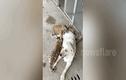 Video: Chó Labrador mẹ chăm sóc ba hổ con như con đẻ