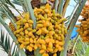Loại quả mọc đầy ở Việt Nam, sang Dubai lại... quý như vàng