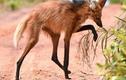 Kinh ngạc loài sói chân dài thướt tha, nghiện ăn... hoa quả