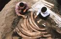 """Phát hiện 1.000 ngà voi cổ đại, chuyên gia hốt hoảng """"Chôn ngay""""!"""